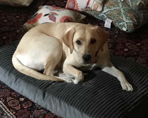 Lab_on_Silverite_Pet_Bed